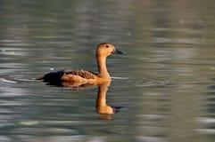 duck меньшие свистя Стоковая Фотография RF