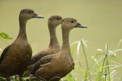 duck меньшие свистя Стоковая Фотография