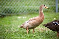 Duck на зеленой траве в дворе Стоковая Фотография