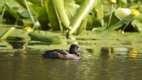 Duck на пруде, ослабляя в солнечном дне Стоковые Изображения RF