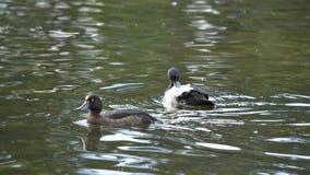 Duck на пруде, ослабляя в солнечном дне Стоковые Фото