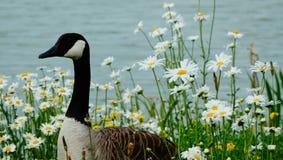 Duck на солнечный день около озера стоковая фотография