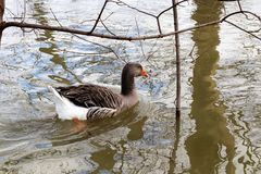 Duck сердитый выходя гадкий утенок в плохом настроении стоковые изображения