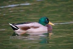 duck спать mallard Стоковая Фотография
