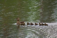 Duck с ветрилами утят в пруд Стоковые Изображения RF