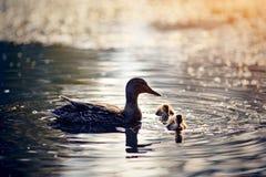 Duck с заплывами утят в озере в лучах захода солнца солнца Стоковое Фото