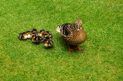 duck утята стоковые изображения