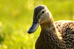 Duck 002 Stock Images