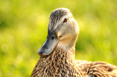 Duck 005 Stock Image