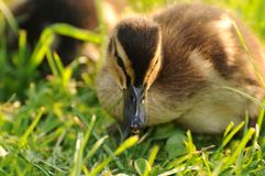 Duck 006 Stock Photo