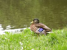 Duck. Near a pond stock image