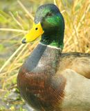 Duck 1. Male mallard duck royalty free stock images