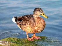 Duck. Wild duck in the pond Royalty Free Stock Photo
