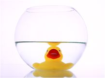 Duck. A small and yellow duck on a water bowl Stock Photos