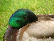 Duck. Portrait of a Wild Mallard Drake stock photography
