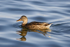 Free Duck Royalty Free Stock Images - 10912449