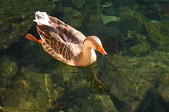 Duck. Lake wildlife pets animal Royalty Free Stock Image