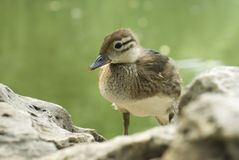 Duck. Baby duck inside the lake Royalty Free Stock Image