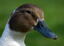 Free Duck Stock Image - 12062891