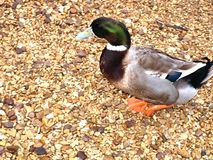Duck. Walking on the stones in the farm stock image