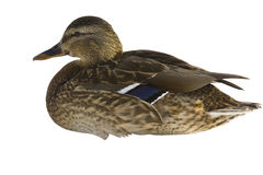 Free Duck Royalty Free Stock Photography - 13264177