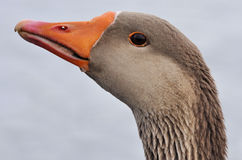 Free Duck Royalty Free Stock Photography - 13335937