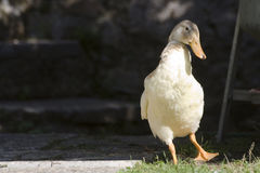 The duck. A indian runner duck waiting for lunch Stock Photography
