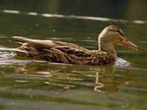 Free Duck Stock Photography - 1392402