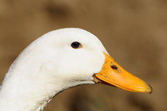 Free Duck Royalty Free Stock Images - 13956669