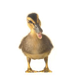Duck. On a white background royalty free stock images