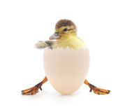 Duck. Little duck coming out of an egg stock photos