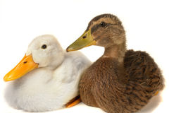 Duck. Two duck on a white background stock images