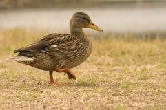 Free Duck Royalty Free Stock Image - 1621306