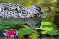 Duck. Female Duck Swimming by Lily Pads Royalty Free Stock Photos