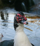Duck. Duck with red and black face Royalty Free Stock Photos