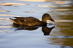 Duck. In a pond, shined by the sun Stock Photography