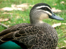 Duck. With green tip of wing stock photo