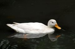 Duck. Swimming at the black lake royalty free stock photos