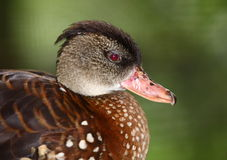 Duck. Head of a brown duck Royalty Free Stock Image