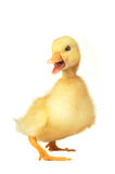 Duck. On a white background stock image