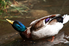 Duck. Mallard duck swimming on a river presents a beautiful pose Stock Photography