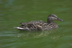 Duck. A duck floating serenely on a bed of green water stock photo