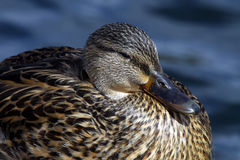 Duck. Close Up Of Female Mallard Duck Stock Image