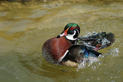 Duck. American wood duck is playing in water Stock Photos