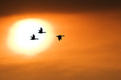 Free Duck Stock Photo - 19467510