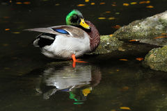 Duck. Mallard Duck Standing In Water With Colorful Reflection Royalty Free Stock Image