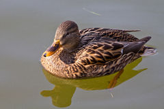 Free Duck Royalty Free Stock Photo - 23247705