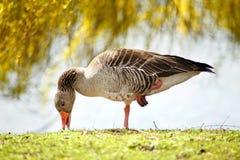 Duck. Eats on one leg stock photos