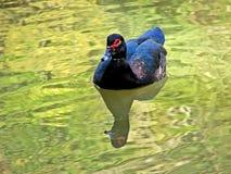 duck zdjęcie stock