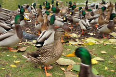 She-duck Royalty Free Stock Images